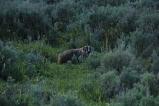 Badger at 10 Yards